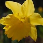 Die Narzissen zählen zu den ersten Blumen, die die Besucher der Gärten der Welt zum Beginn der Saison bewundern dürfen Foto: Uta Richter