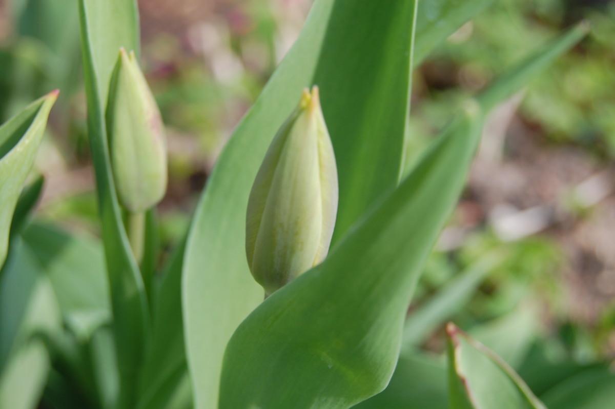 Die große Tulpenschau