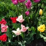 Die Tulpen kommen Foto: Uta Richter