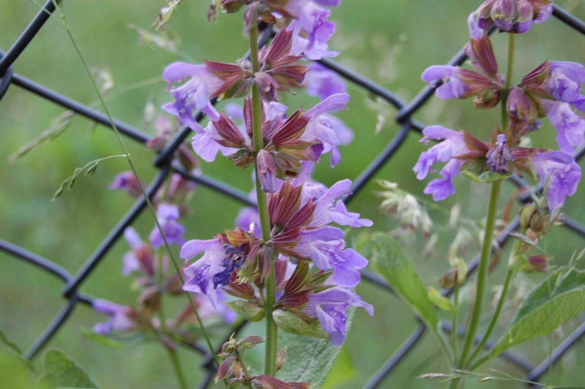 Blühender Salbei