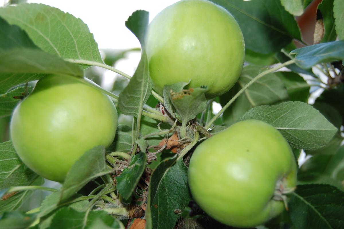 Apfeltraum am Apfelbaum