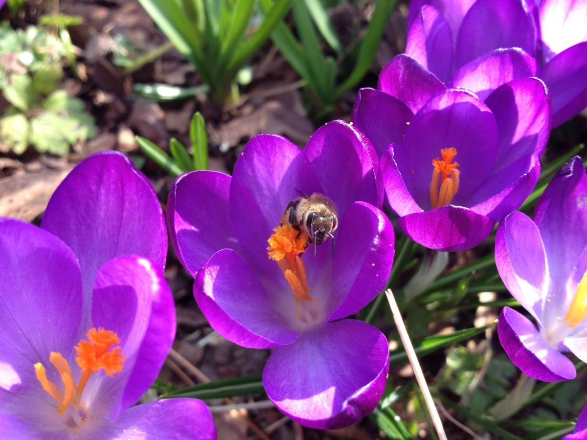 Biene im Krokus