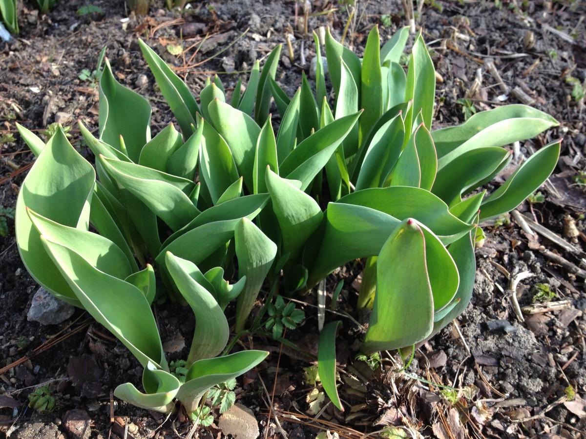 Tulpen kommen