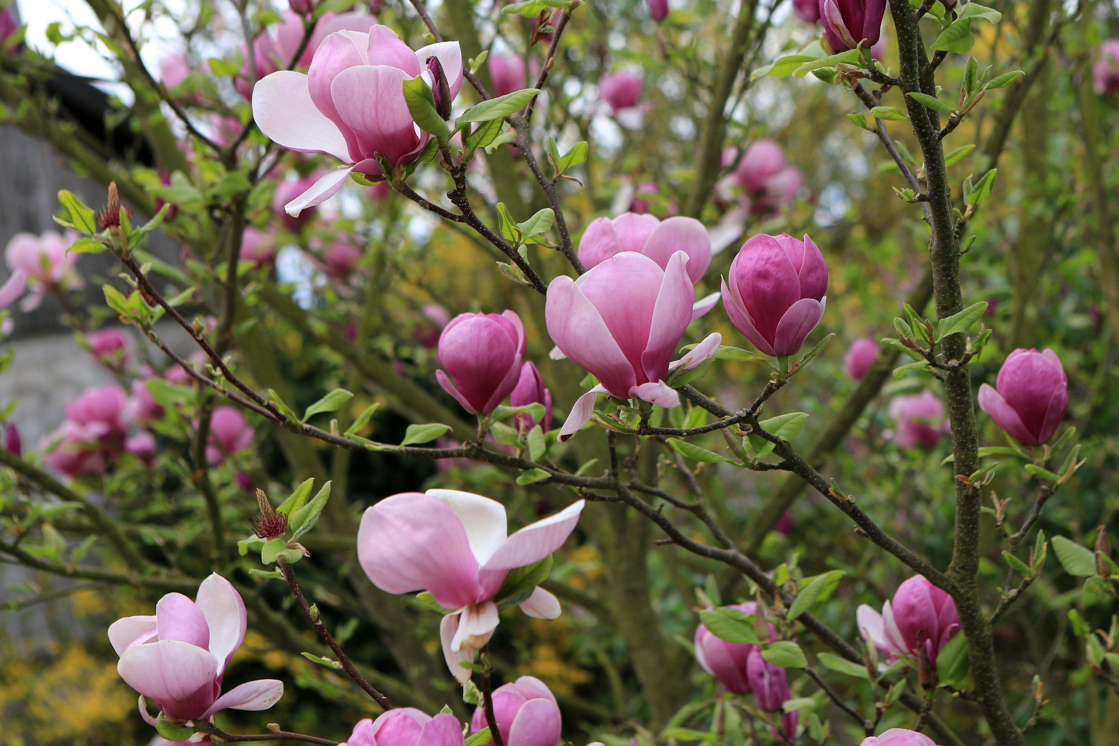 Magnolie ist neu im Garten