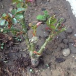 Neu im Garten: Rote Kletterrose Foto: Uta Richter