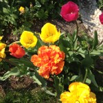 Tulpen kamen ursprünglich aus Istanbul nach Westeuropa Foto: Uta Richter