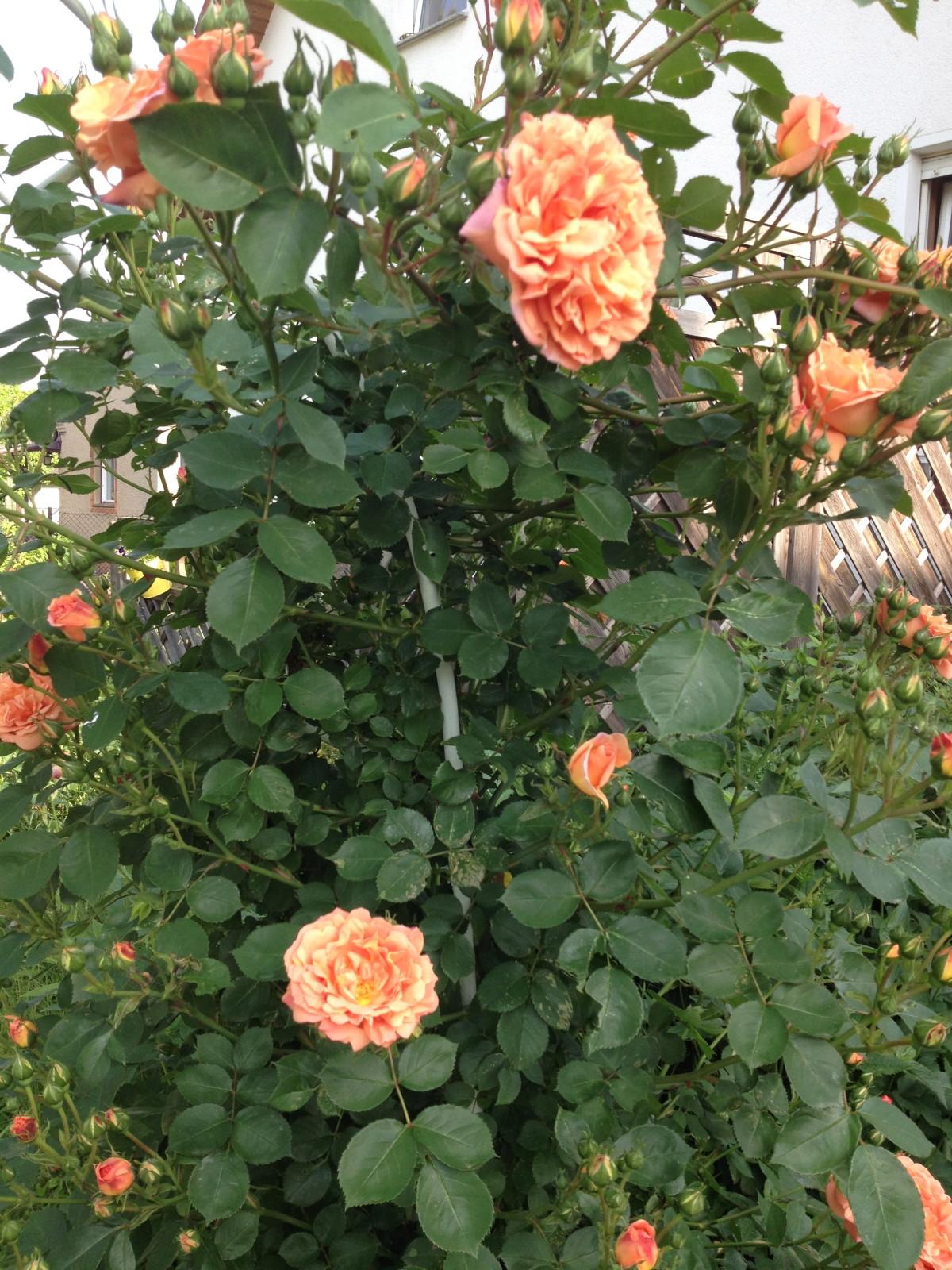 Rose vor dem Sturm