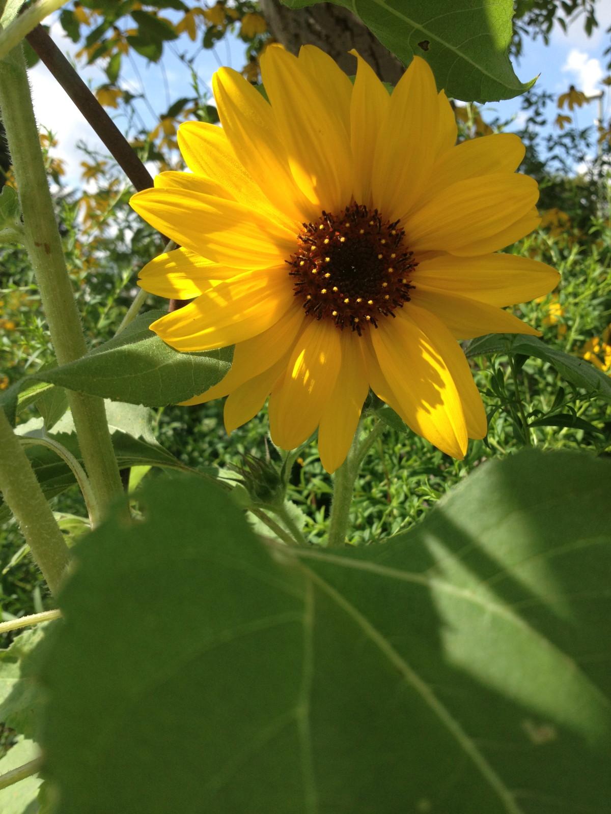 Unsere Sonnenblumen blühen