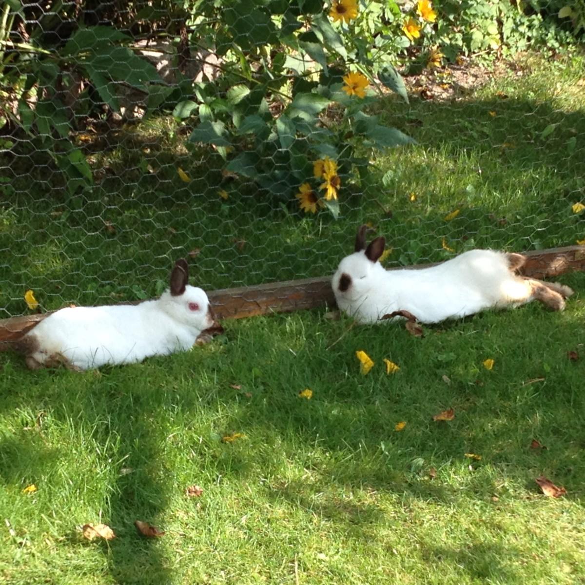 Hasen ganz entspannt