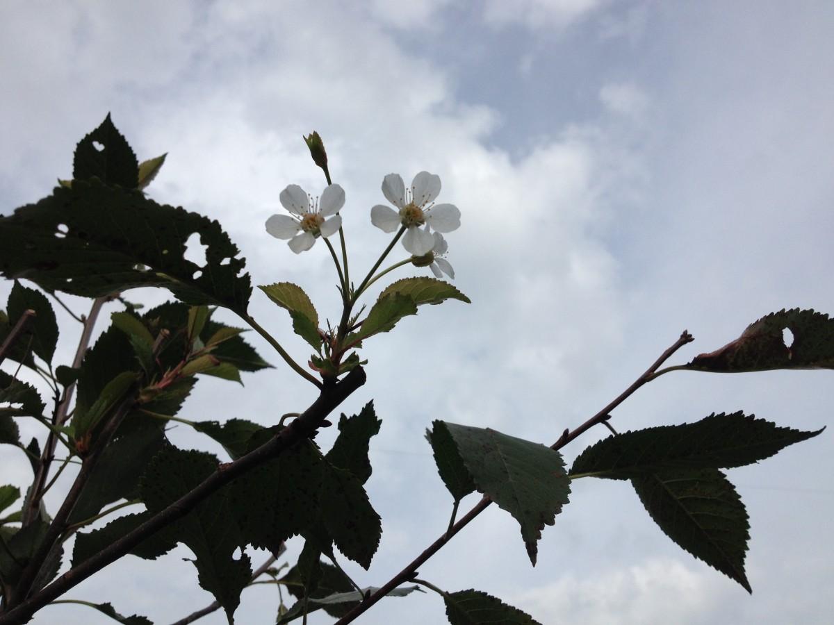 Kirschblüte im August