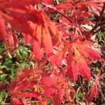 Ahorn im Herbst Foto: Uta Richter