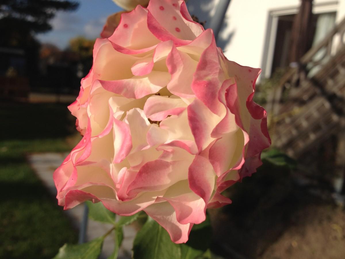 Die letzte Rose des Gartenjahres 2014