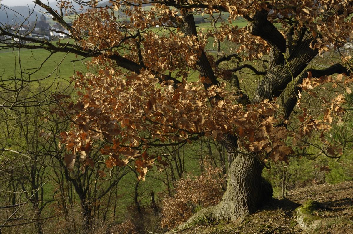 Traubeneichen für Naturerbe Hubertusstock