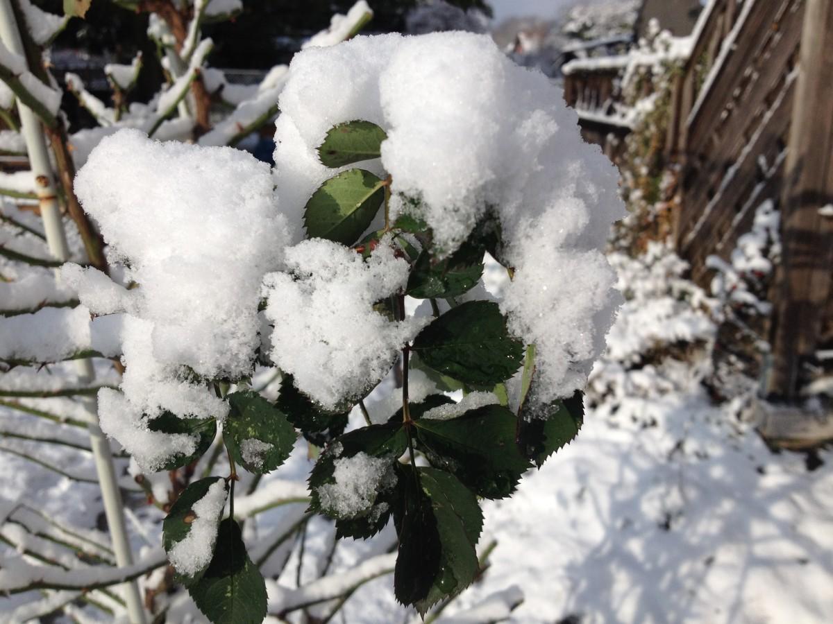 Kletterrose mit Schnee