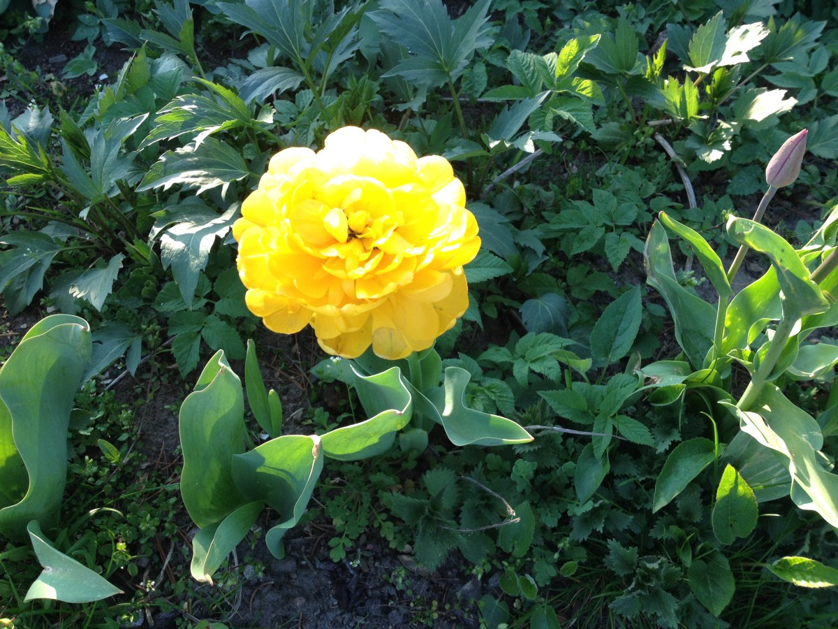 Die etwas andere Tulpe im Garten