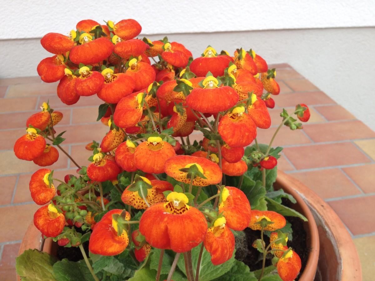 Blütezeit der Pantoffelblume