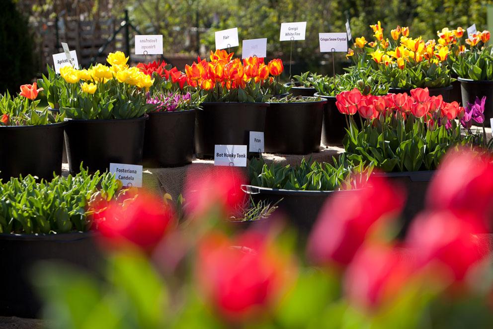Tulpenschau in den Späth'schen Baumschulen