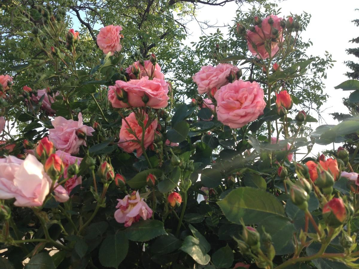 Rosenwochen bei uns und bei Späth
