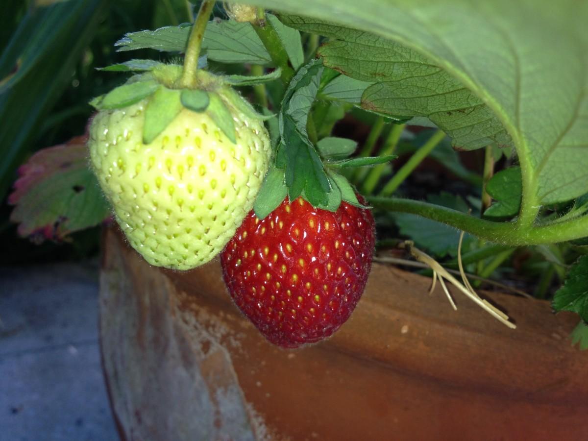 Erdbeeren und Gurken ernten