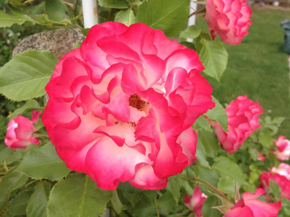 Kletterrose steht in voller Blüte