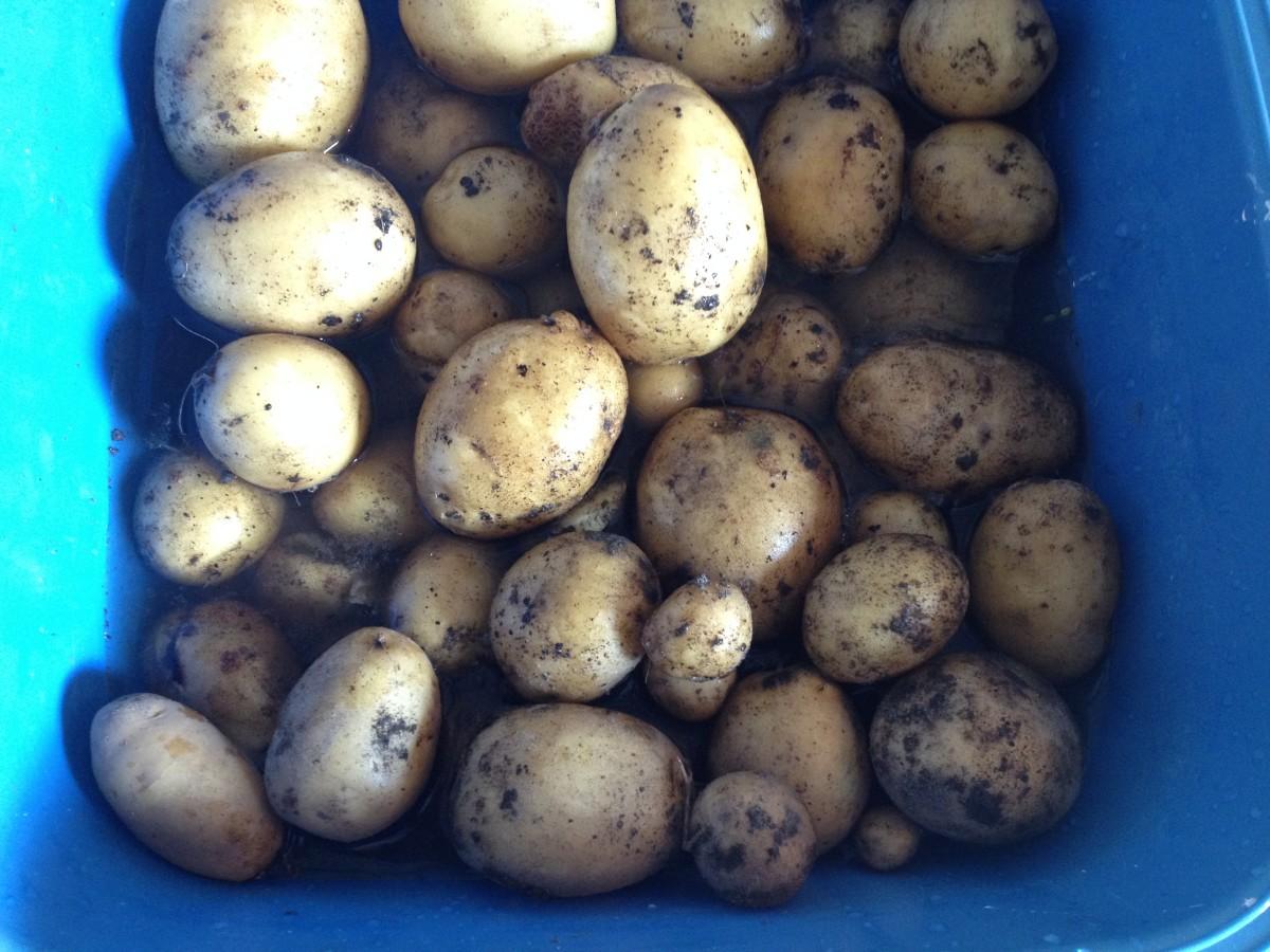 Kartoffelernte 2015 abgeschlossen Foto: Uta Richter