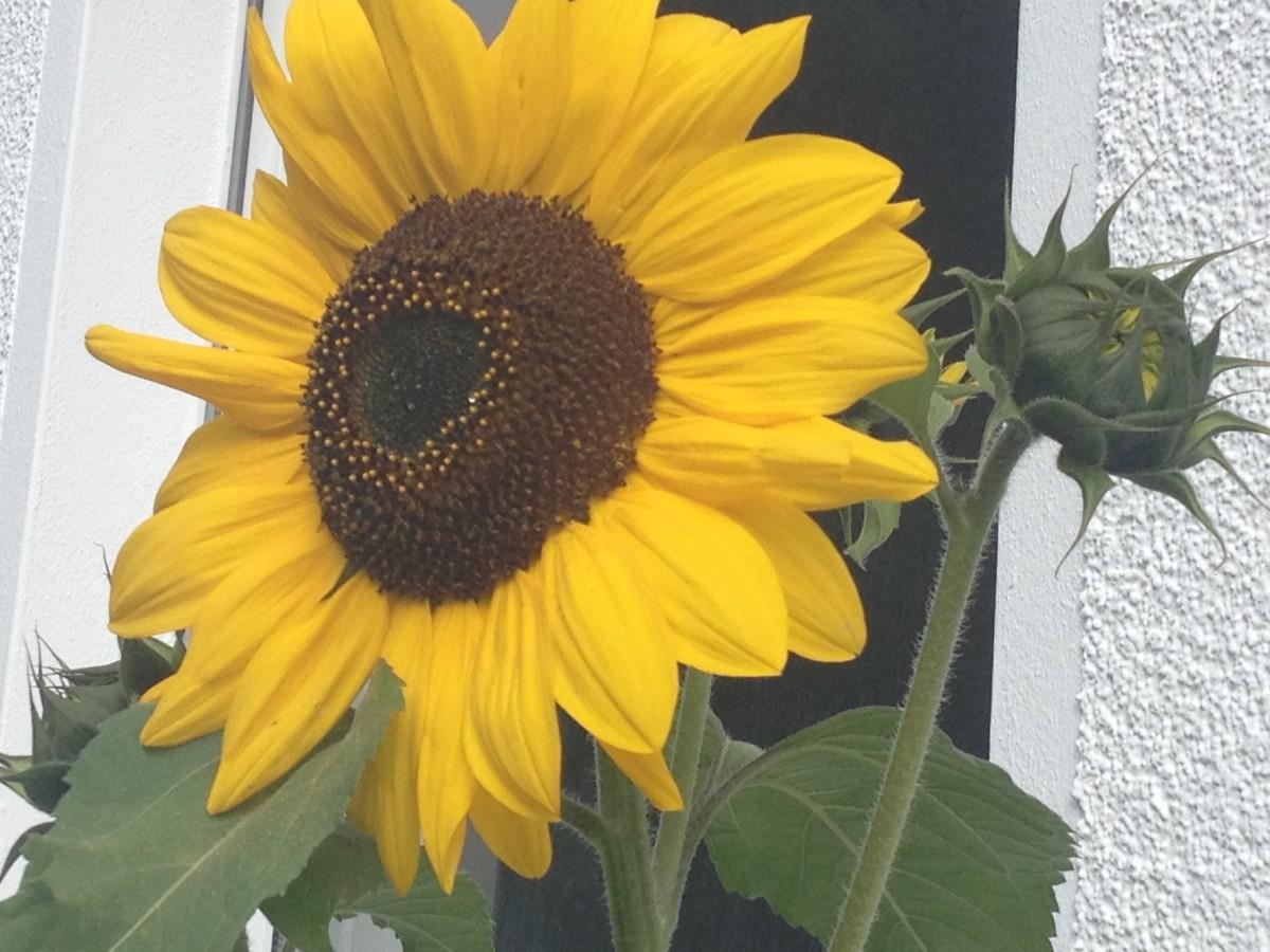Unsere Sonnenblumen haben sich Zeit gelassen