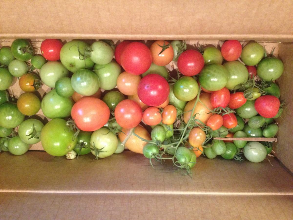 Tomaten reifen in der Kiste nach
