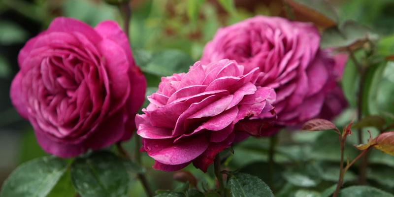Rosenwochen mit Krimi-Lesung