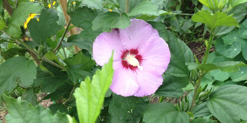 Der Garteneibisch blüht